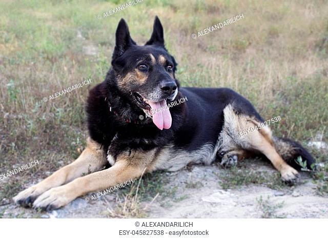 German Shepherd Mixed Breed Dog Close Up