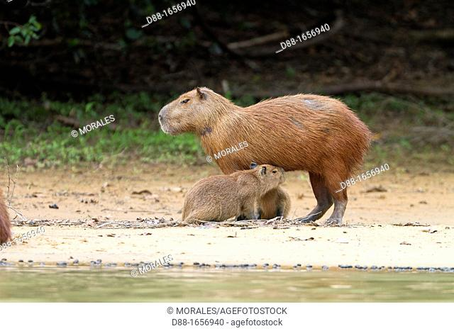 Brazil, Mato Grosso, Pantanal area, the capybara Hydrochaeris hydrochaeris is the largest rodent in the world