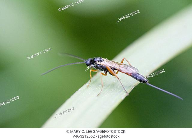 Parasitoid wasp, Ichneumon sp. Black wasp with red wings and legs and extremely long ovipositor. Significant parasitoids of othe invertebrates