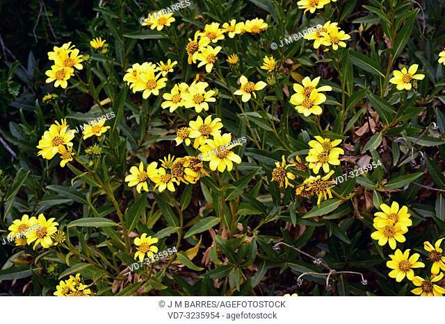 Maravilla del campo (Flourensia thurifera) is an evergreen shrub native to Chile. Flowering plant