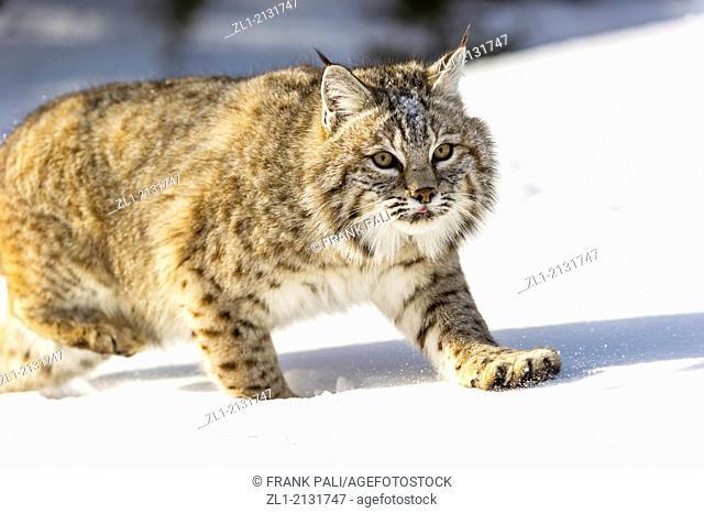 Bobcat (Lynx rufus) Captive young individual in late winter mountain habitat, Bozeman, Montana, USA