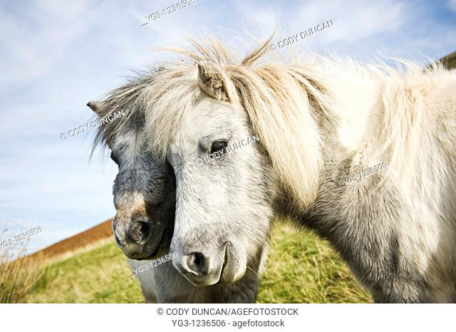 Welsh mountain ponies, Brecon Beacons national park, Wales