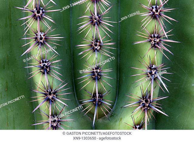 Thorn detail of Giant Saguaro Carnegiea gigantea, Saguaro National Park, Sonora Desert, Arizona, Tucson, USA
