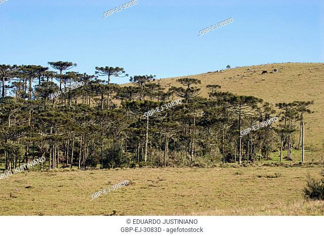 Physiognomy of Campos of Top with Forest of Araucaria, Araucaria angustifolia, São José dos Ausentes, Rio Grande do Sul, Brazil