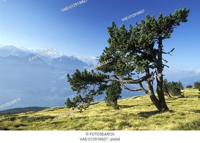 blue, day, coniferae, conifer, aichner