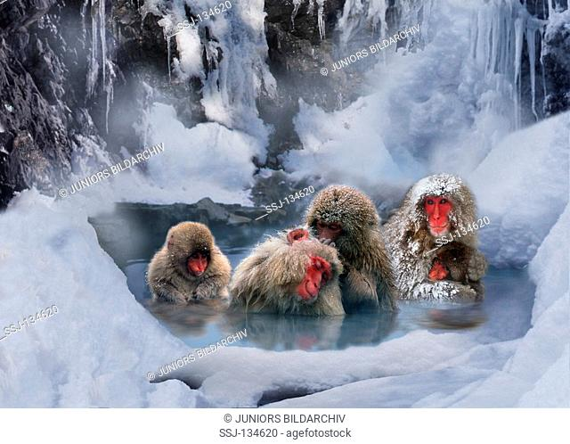 Japanese Macaqus in water / Macaca fuscata