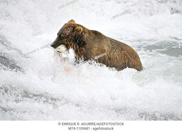 Grizzly bear (Ursus arctos horribilis), McNeil River Sanctuary, Alaska, USA