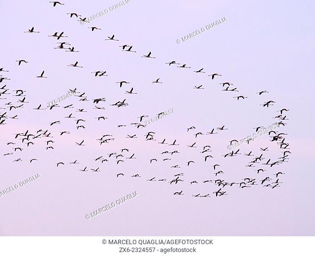 Flock of flamingoes (Phoenicopterus roseus) at dawn. Ebro River Delta Natural Park, Tarragona province, Catalonia, Spain