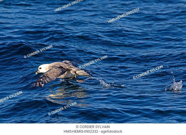 Norway, Svalbard, Spitsbergern, Northern Fulmar or Arctic Fulmar (Fulmarus glacialis) in flight