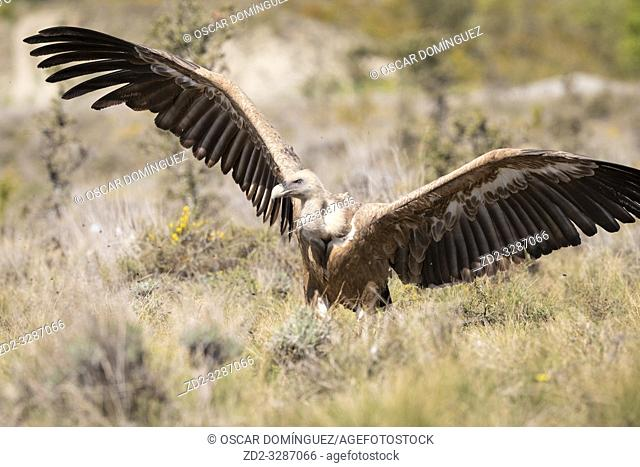 Griffon Vulture (Gyps fulvus) spreading wings. Lleida province. Catalonia. Spain