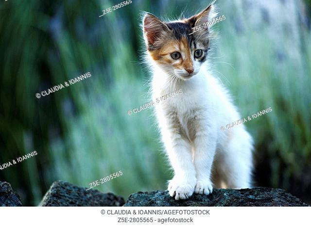 Calico kitten standing on a rock in the garden