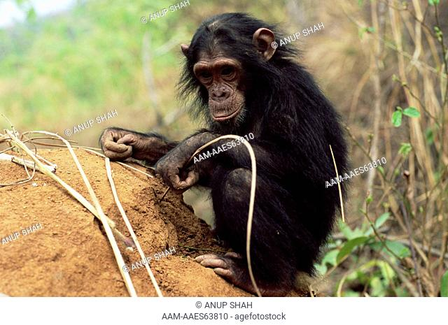 Young male Chimpanzee 'G' fishing for termites in termite mound (Pan troglodytes schweinfurtheii) example of tool using, Gombe National Park, Tanzania 2003