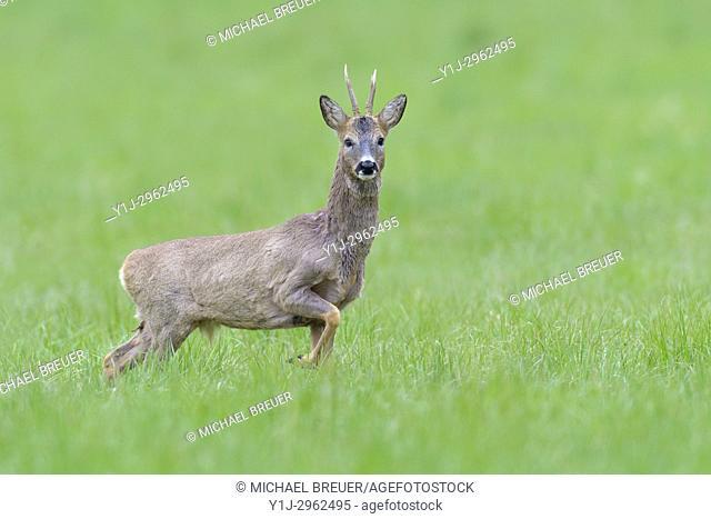 Western Roe Deer (Capreolus capreolus) in Springtime, Roebuck, Hesse, Germany, Europe