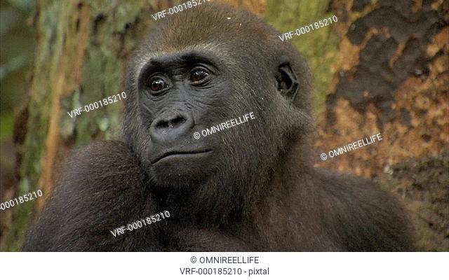 Western Lowland Gorilla looking around