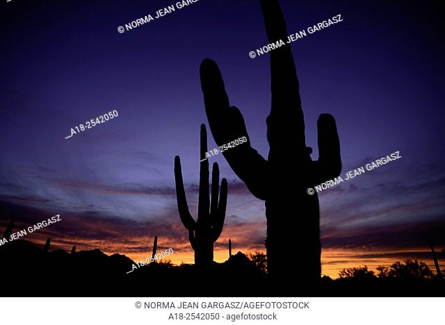 Saguaro cactus at sunset, Sonoran Desert, Ironwood Forest National Monument, Eloy, Arizona, USA