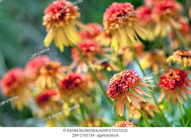 Orange Coneflower Echinacea 'Marmalade'