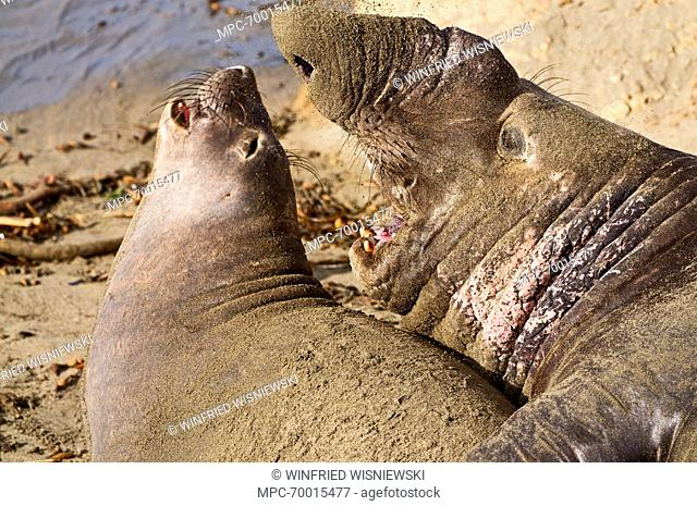 Northern Elephant Seal (Mirounga angustirostris) bull with female on beach, San Simeon, California