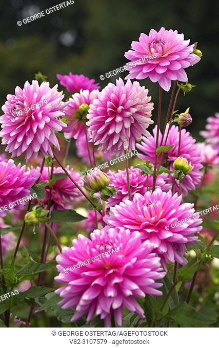Pink Gingham dahlia, Swan Island Dahlias, Clackamas County, Oregon