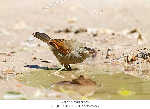Bay-winged Cowbird (Agelaioides badius) adult, drinking at pool, Buenos Aires, Argentina, February