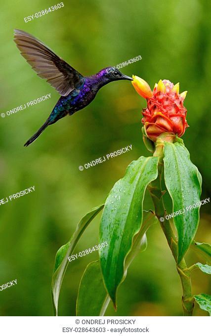 Dark blue hummingbird Violet Sabrewing from Costa Rica