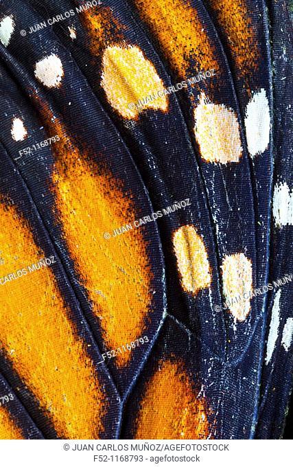 Monarch Butterfly (Danaus plexippus), detail of ocellus