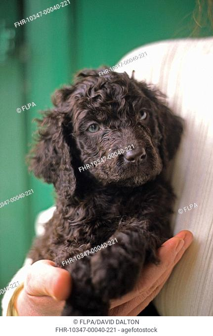 Domestic Dog, Irish Water Spaniel, puppy held in persons hand