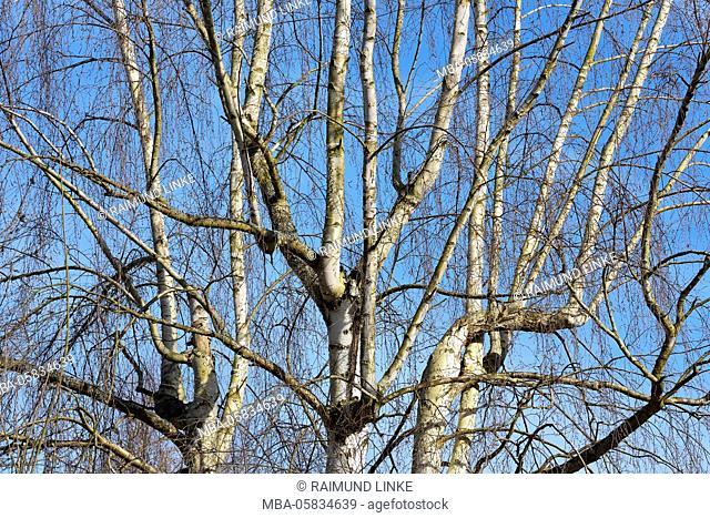 View into a Birch Tree Treetops, Freudenberg, Churfranken, Main-Tauber-District, Baden-Wurttemberg, Germany