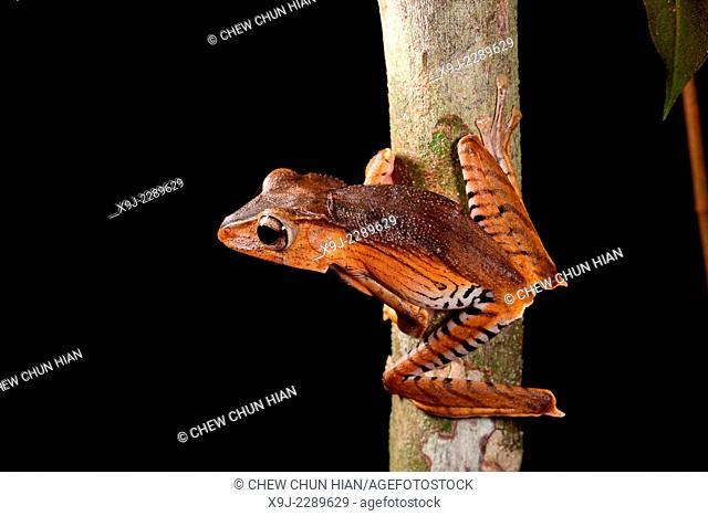 Frog of borneo, Tree Frog, Phacophorus pardalis, national park, sarawak
