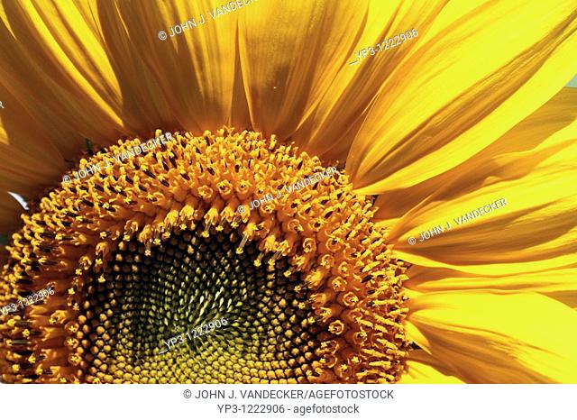 Close-up of a portion of a Russian Mammoth Sunflower, Helianthus annuus  New Jersey, USA, North America  The plant may reach 8 to 10 feet tall with 8 to 14 inch...
