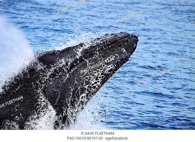 Hawaii, Maui, Humpback whale breaching