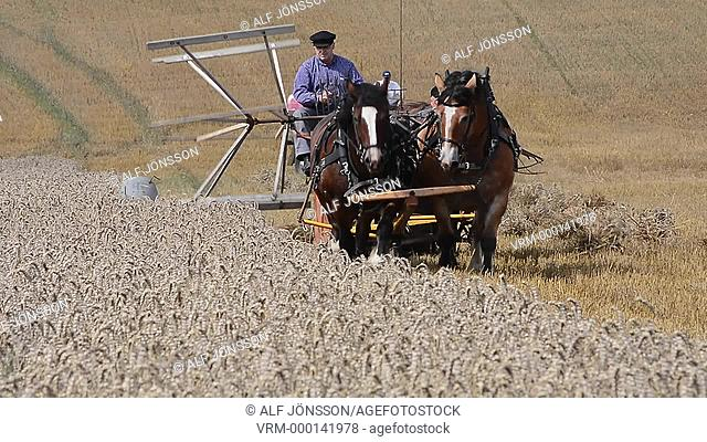 Harvest with self-binder and horses