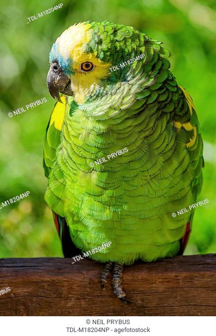 A Blue fronted Amazon parrots, Amazona aestiva