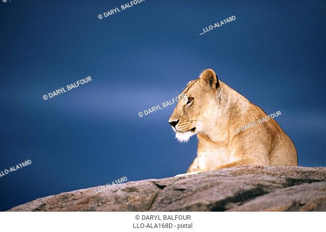 Low Angle View of a Lioness Panthera leo on a Rock  Serengeti National Park, Tanzania