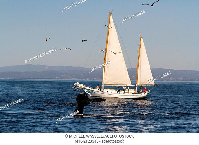 Humpback Whale tail flukes in front of a private yacht, sailing boat in the Monterey Bay, California, USA