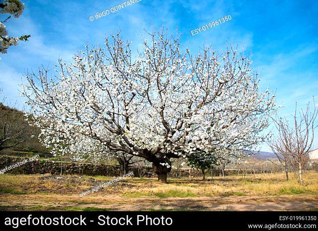 almond tree flourish