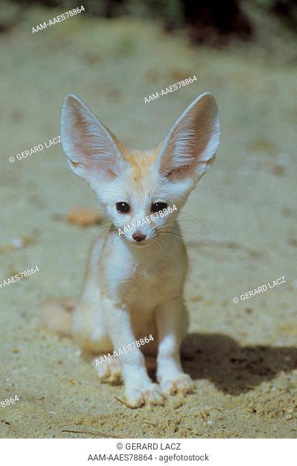 Fennec Fox (fennecus zerda)