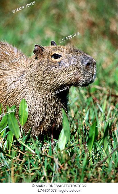 Capybaras (Hydrochoerus hydrochaeris). Pantanal, Brazil