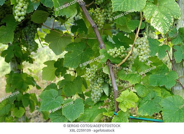 Txakoli vineyards in Guetaria, Basque Country, Spain, Guipuzcoa