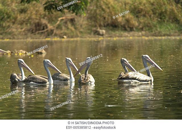 Birds ; Spot-billed Pelican pelecanus philippensis  in Karanji Lake in Mysore ; Karnataka ; India