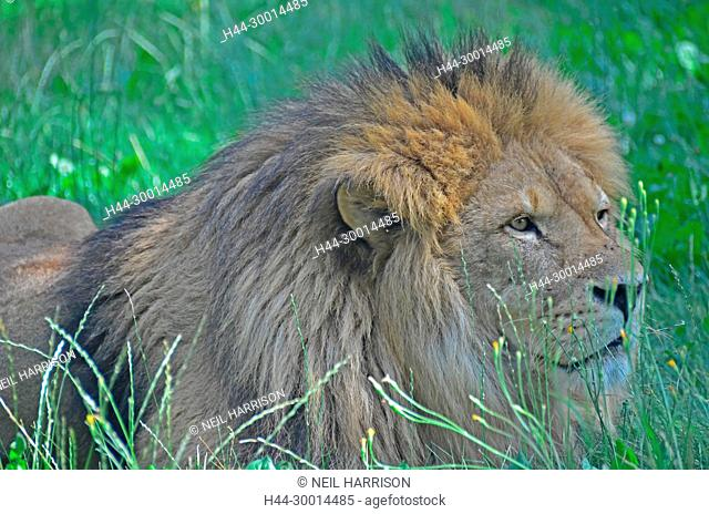 A male lion lying in the grass, watching closely its prey