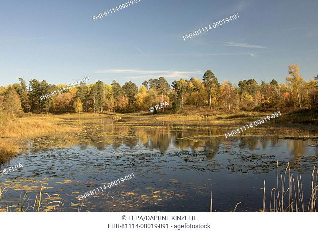View across lake to mixed forest in autumn colours, Itasca State Park, Minnesota, U.S.A., October