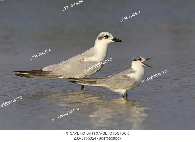 Gull-billed Tern (Gelochelidon nilotica), standing in the water together with a Whiskered Tern, Salalah, Dhofar, Oman
