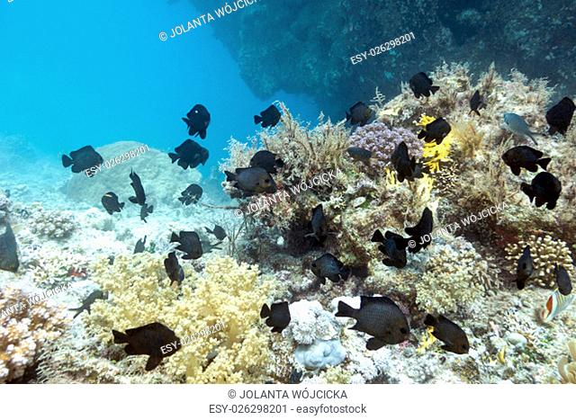 coral reef with exotic fishes dascyllus at the bottom of tropical sea, underwater