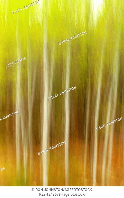 White birch grove Camera movement