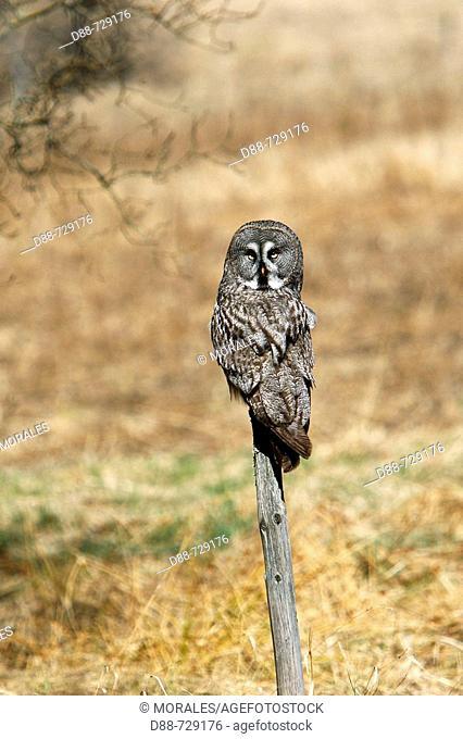 Great Gray Owl (Strix nebulosa), male