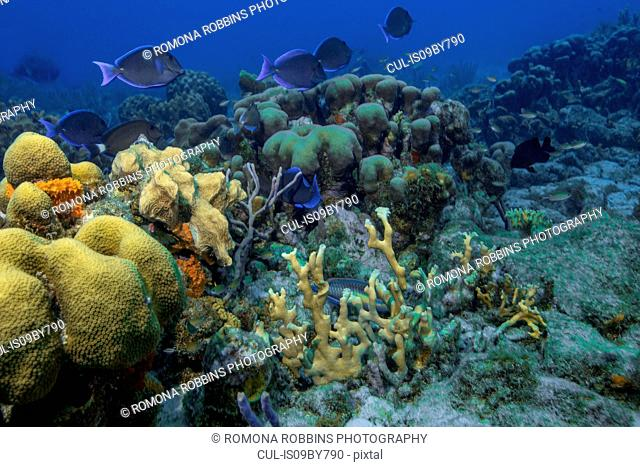 Seascape of soft coral and doctor fish, Curacao