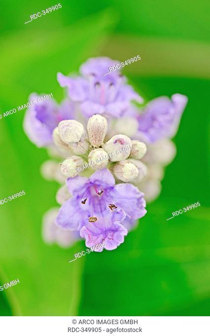 Mediterranean Chaste Tree / Vitex agnus-castus, Agnus-castus vulgaris, Vitex verticillata / Vitex, Chasteberry, Monk's Pepper