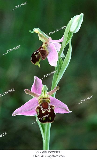 Close-up of a bee orchid Ophrys apifera growing in a dry grassland habitat near the coast in the Gower, South Wales