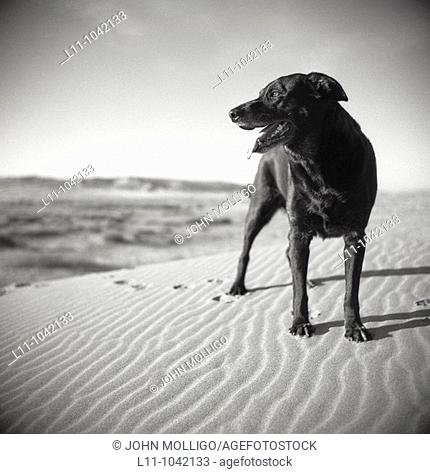Black Labrador Retreiver dog on Sand Dunes in Early Morning