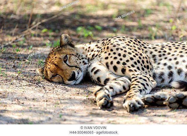 Cheetah, Acinonyx jubatus, Tanzania, East Africa